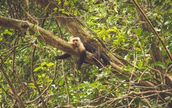mono-capuchino-manuel-antonio